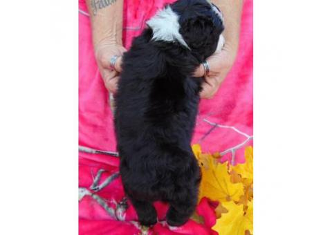 Gorgeous black with white markings Female Standard Aussiedoodle
