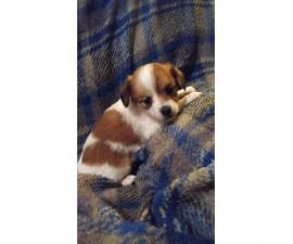 Adorable papillon/daschund mix puppies for sale