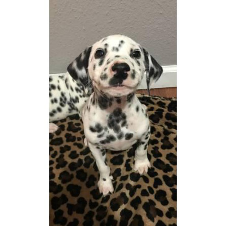 Beautifully spotted Dalmatian Puppies 9 weeks old in ...