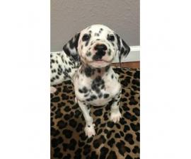 Beautifully spotted Dalmatian Puppies 9 weeks old