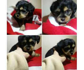 Yorkie poo female puppy available
