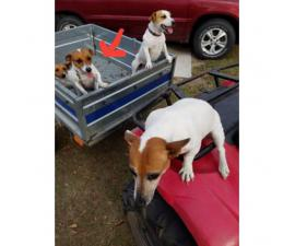 2 Short legged Pure Bred Jack Russell male puppies