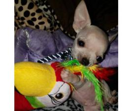 4 months old. Purebred Apple Head Chihuahua