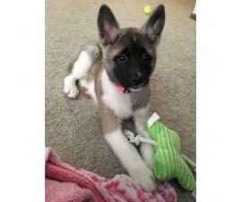 11 weeks old Akita puppy for sale