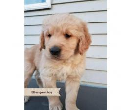 Puppies are $1000 5 Males Available