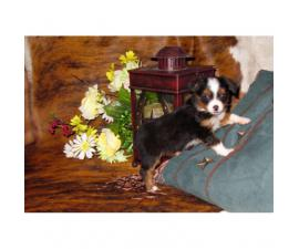Beautiful toy aussies available ASDR registerable