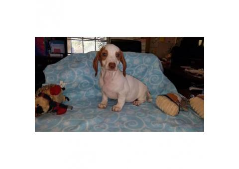 2 Red Piebald and 1 Dilute red all males Dachshund Puppies for sale