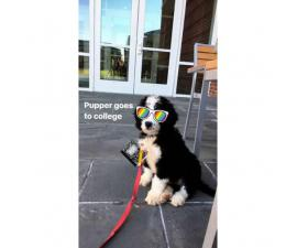 10 week old male Bernese Mountain Dog/ Standard Poodle Puppy