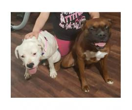 Full Blooded Boxer Puppies 5 males and 4 females