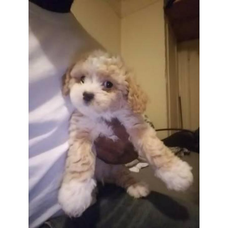Adorable Cocker Poo Puppies For Sale In New York City New York Puppies For Sale Near Me
