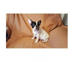 2 Female adorable French Bulldog  puppy great companion