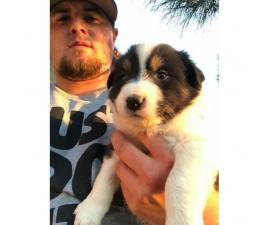 5 male collie pups for sale