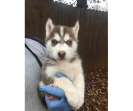 8 husky puppies for sale $800 each