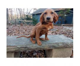 4 American Field Stud Book registered Irish Setter puppies
