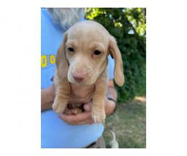 2 Male Dachsund Puppies for Sale