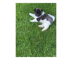 2 Purebred Akita puppies for sale