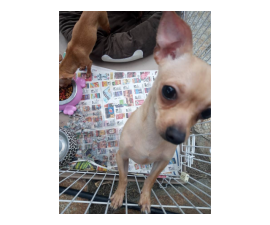8 months old Chihuahua puppies ready to go