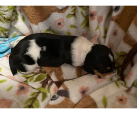3 Purebreed small dachshunds puppies for sale