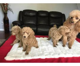3 pure bred miniature male poodle puppies for sale
