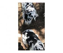 4 full blood Great Dane puppies needing great home