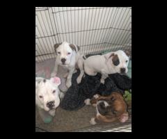 Purebred male boxer puppies for sale