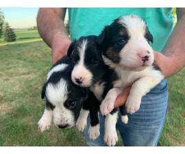 6 purebred border collie puppies looking for a new home.