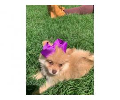 Beautiful orange merle female Pomeranian puppy