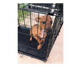 Female 4 month old dachshund puppy for sale