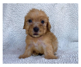 2 Morkie puppies for sale