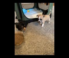 8 weeks old Applehead Chihuahua puppies