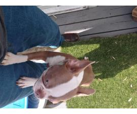Beautiful 10 month old champagne boston terrier puppy for sale