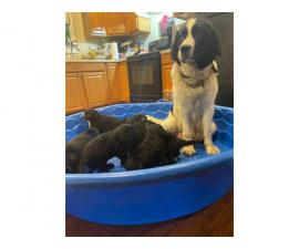 Newfidoodle puppies looking for home
