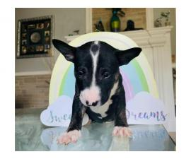 2 beautiful Bull Terrier Puppies for sale