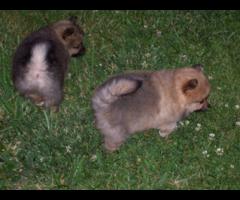 4 Female Pomeranians for Sale