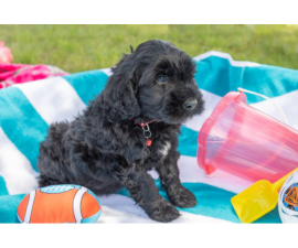 8 weeks old Portuguese water dog puppies