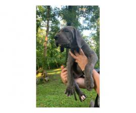 4 female Blue Great Dane puppies for sale