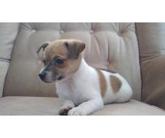 Cute male miniature rat terrier puppy for sale