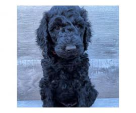 2 Male Standard Poodle Puppies for Sale