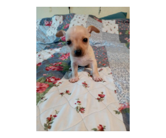 6 weeks old Chiweenie puppies looking for loving homes
