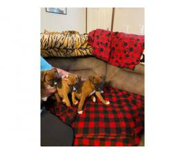 3 AKC Boxer Puppies for Sale
