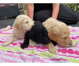 AKC Standard poodle puppies for sale