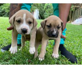 5 adorable male pitbull puppies for sale