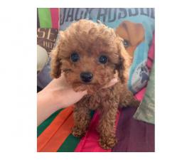 1 Male standard toy poodle