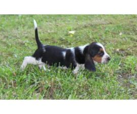 Akc 1 female and 1 male Basset hound puppies available now