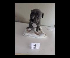 4 male bluenose pitbull puppies