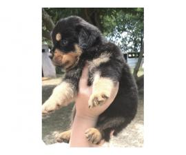 3 Pure Breed Rottweiler puppies looking for a new home