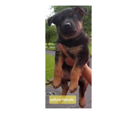 2 AKC registered purebred German Shepherd puppies for sale