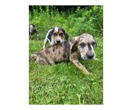 5 males and 1 female Great Dane