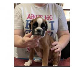 3 Pure Breed Boxer puppies looking for a new home