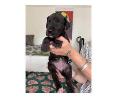 Confirmed Litter Of Great Dane Puppies